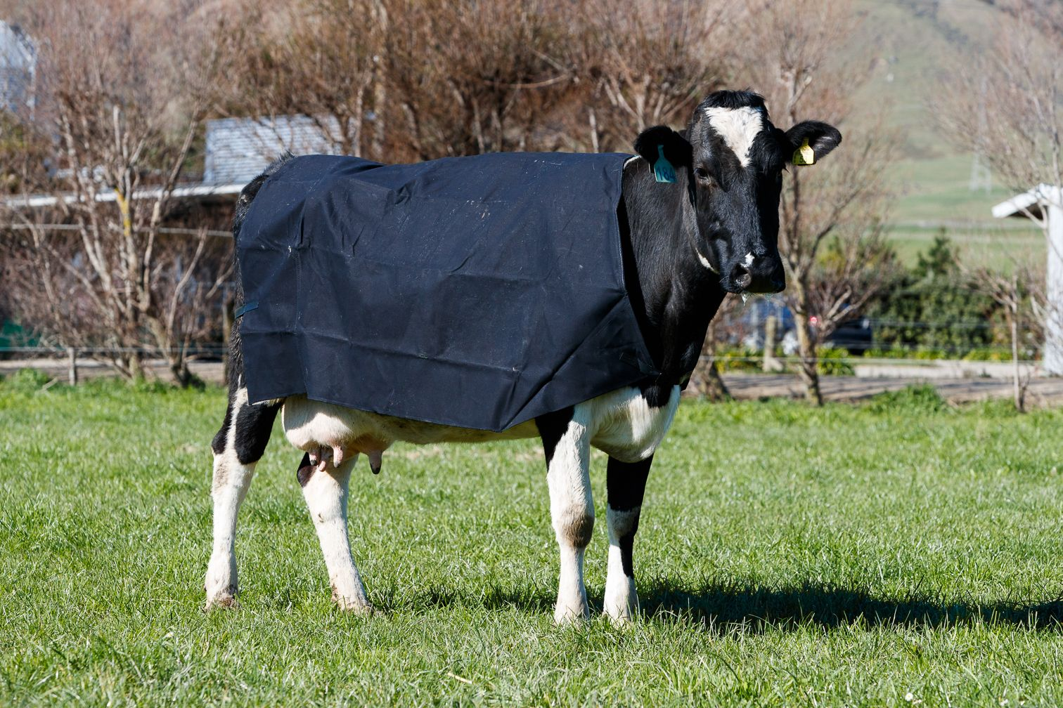Cow Covers